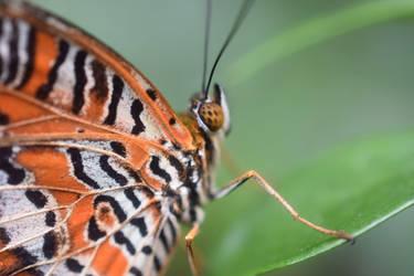 Tiger Blooderfly