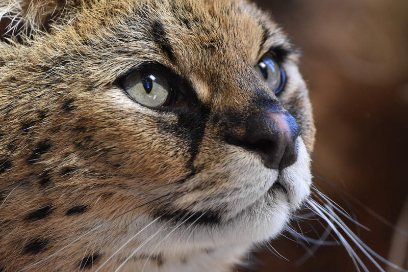 Beauty Is In The Eyes Of The Serval