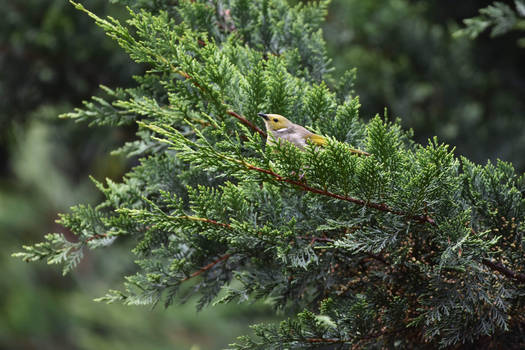 White Plumed Honey Eater In Pine Tree