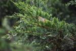 White Plumed Honey Eater In Cypress Tree