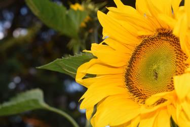 A Sunflower Blossoms