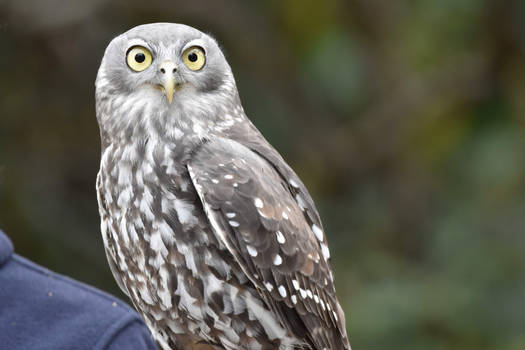 The Eyes of The Barking Owl