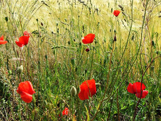 wheat and poppies by Raeana