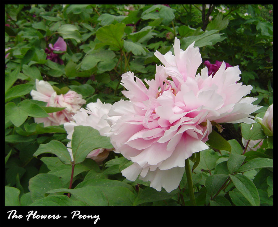 Flowers: Peony by Norloth
