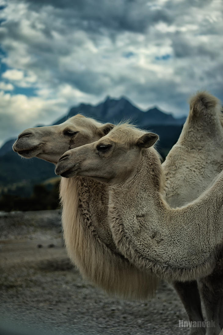 Bactrian Camels 02552 by linvanoak