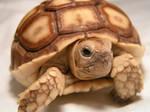 Chuck Norris the Tortoise 2