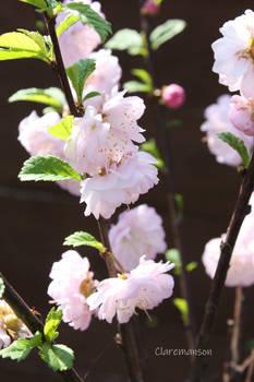 Prunus Triloba Blossom