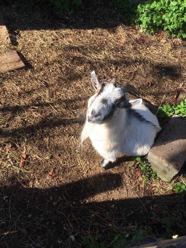Little Goat by LtFumbles