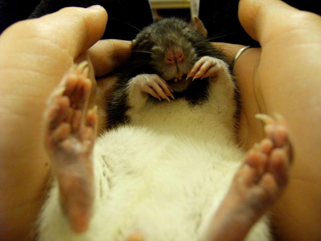rat by krabatas