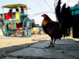 Rooster Philippines by patindaytona