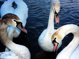 Swan Family by Andorada