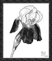 Iris for Saffron Hare by Kittenpants