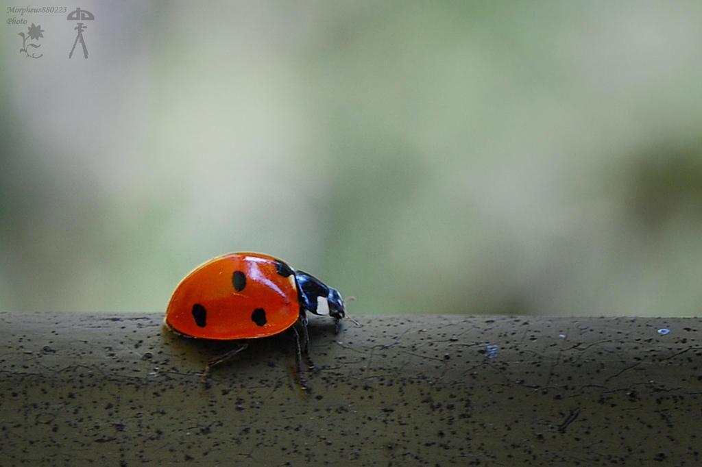 Ladybug by morpheus880223