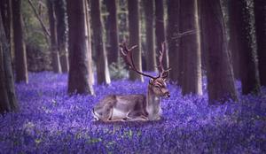 Farytail deer
