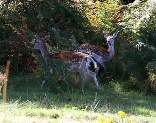 IMG 9361 deer by swanseamale47
