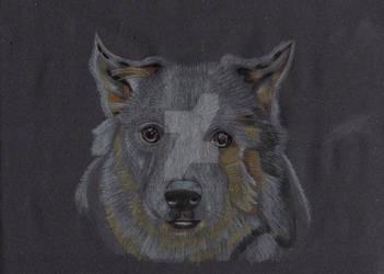 Jacky The Border Collie Dog by Moondancer3