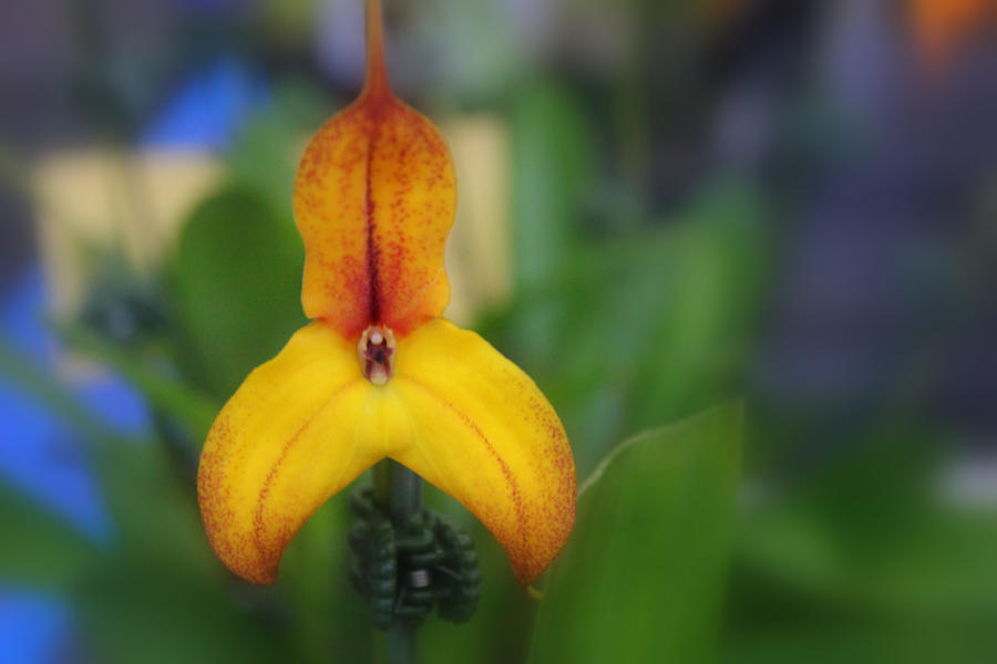 Masdevallia by Tamamantix