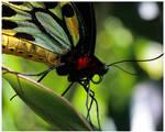 Cairns Birdwing by GreenEyedHarpy