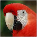 Scarlet Macaw by GreenEyedHarpy