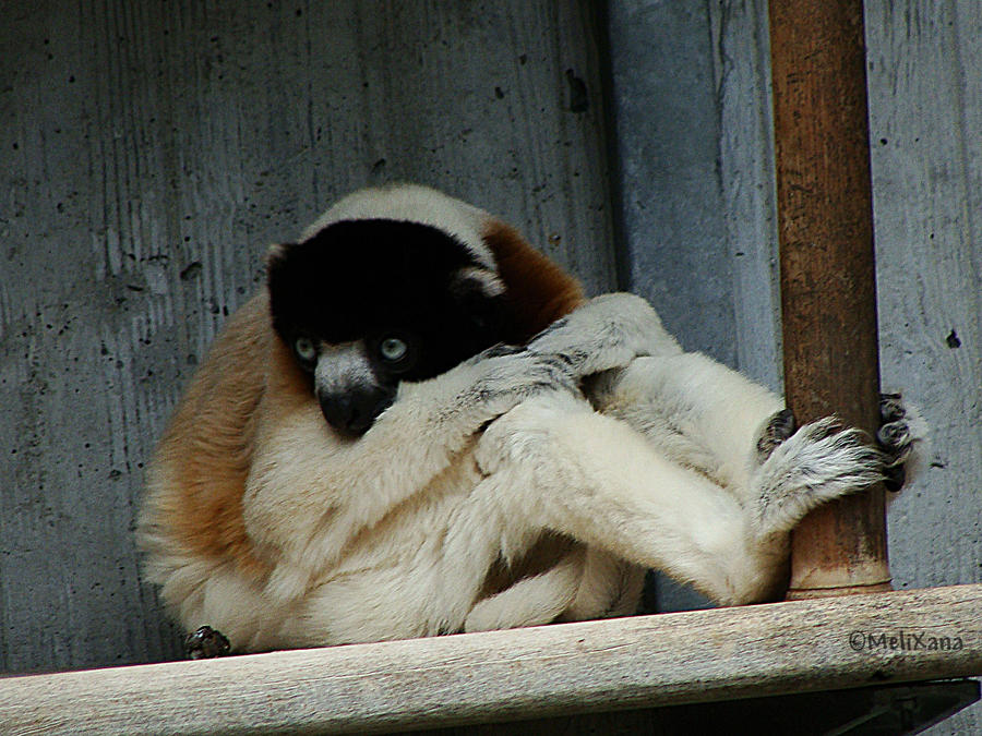 Kronensifaka by Martina-WW