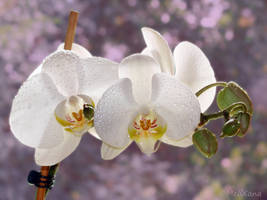 Phalaenopsis 5 by Martina-WW