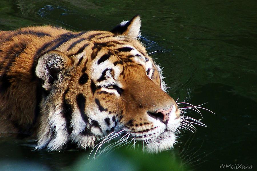 Schwimmender Tiger by Martina-WW