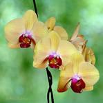 Phalaenopsis 7