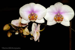 Phalaenopsis 9 by Martina-WW