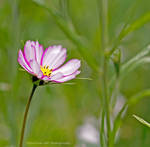 Cosmos in the meadow