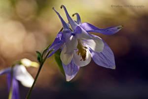 Akelei blauweiss by Martina-WW
