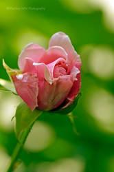Rose 2015  - 5
