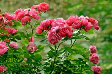 Rose 2015 - 7