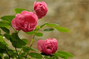 Rose 2015  - 4
