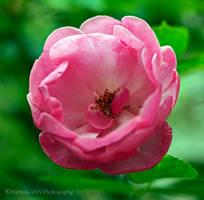 Rose 2015 - 8