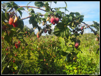 Raspberries plant... by joccedesign