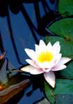 night lotus by Rainskin