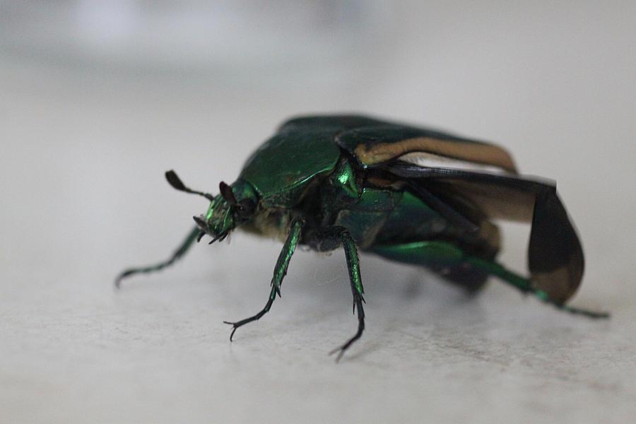 Figeater Beetle Bite