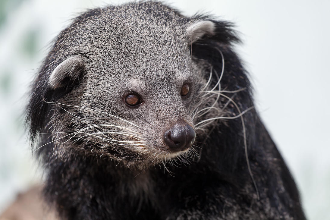 Binturong by JakeSpain