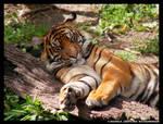 -Sleeping Tiger-