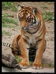 -sitting Tiger- by leopatra-lionfur