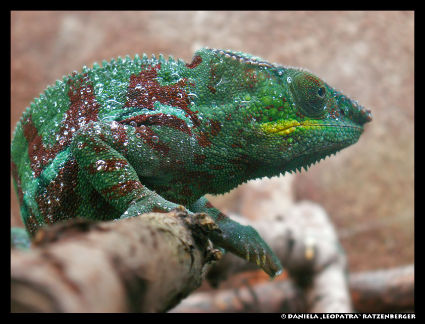 Chameleon by leopatra-lionfur