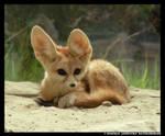 Fennec Cub