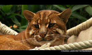Asian Golden Cat by leopatra-lionfur