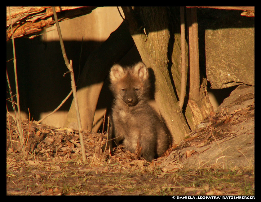 Maned Wolf Pictures Maned Wolf Baby Sitting by