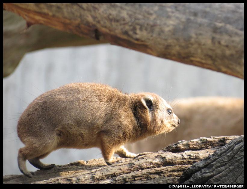 Klippschliefer by leopatra-lionfur
