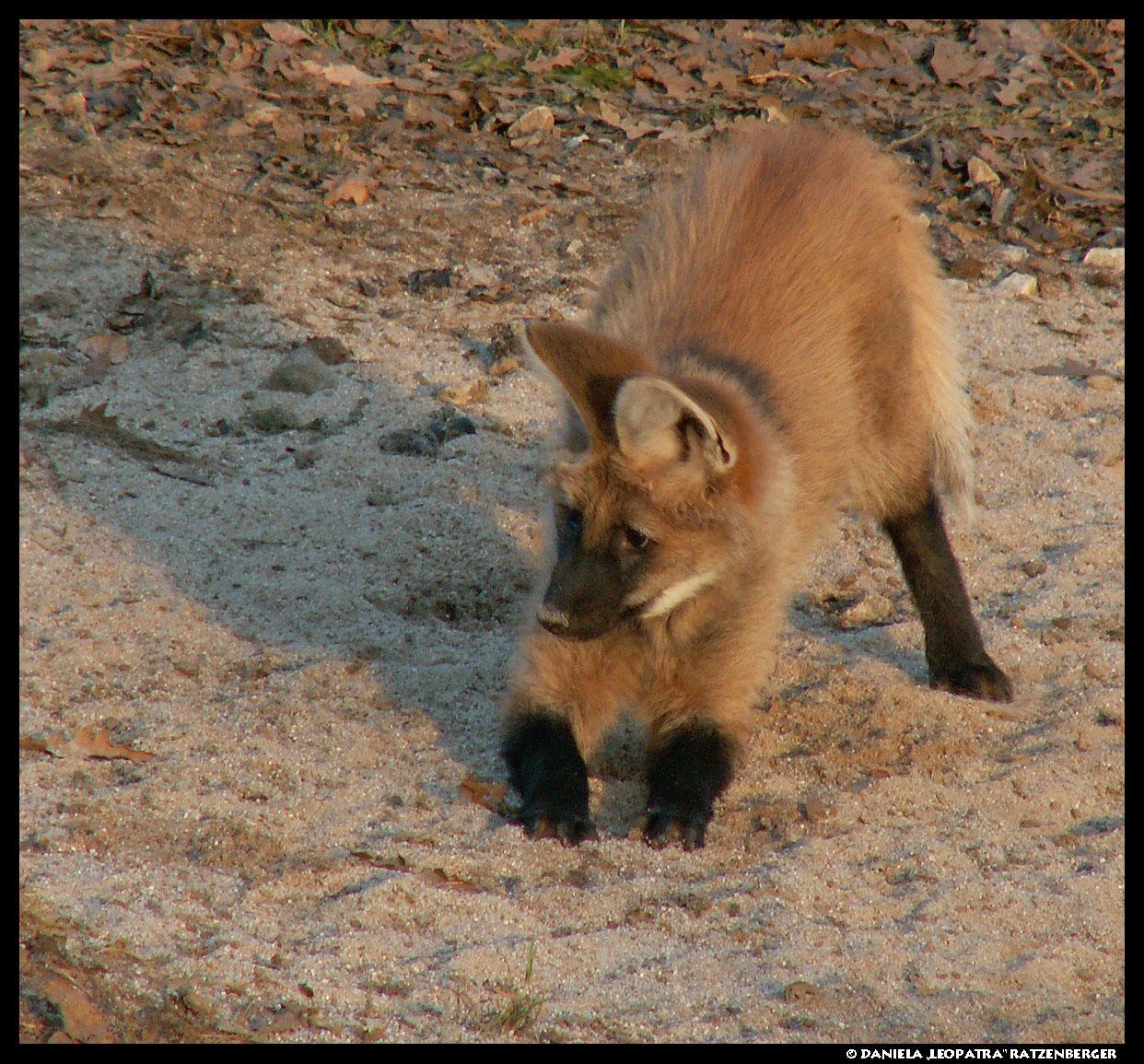 wolf kissing its cub - photo #29