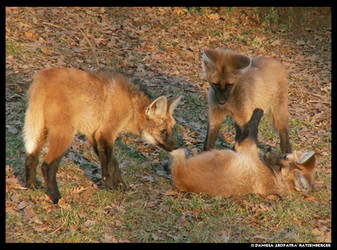 3 Maned Wolf Pups Play by leopatra-lionfur