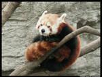Red Panda Furball