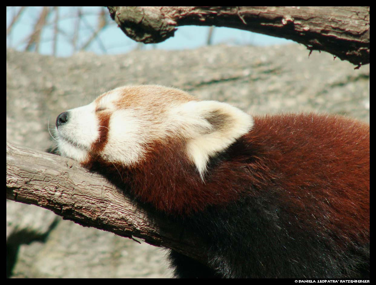 Red Panda sleeping by leopatra-lionfur