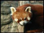Red Panda Looking
